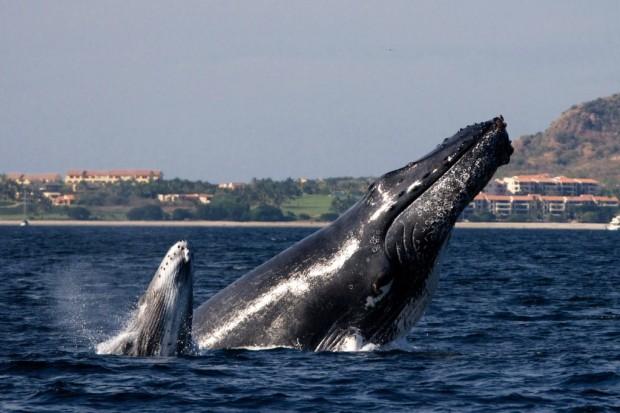 Hunchback whales in Puerto Vallarta