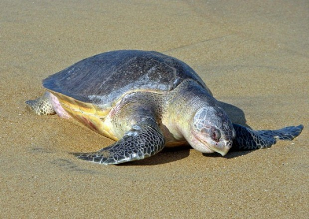A Pacific Ridley Sea Turtle making her way to the beach in Huatulco to nest