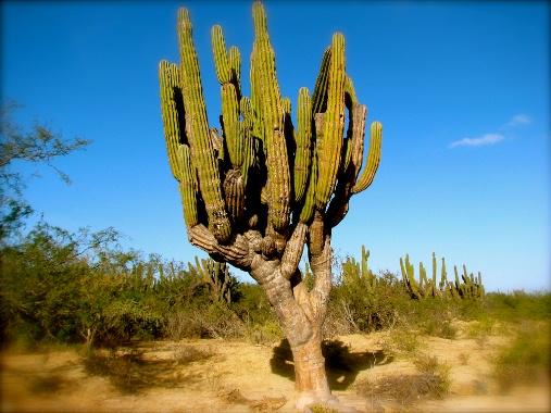 Desert Cactus, Baja California