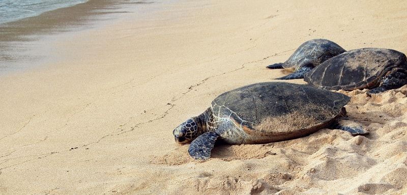 Sea Turtles at the Beach in Cabo