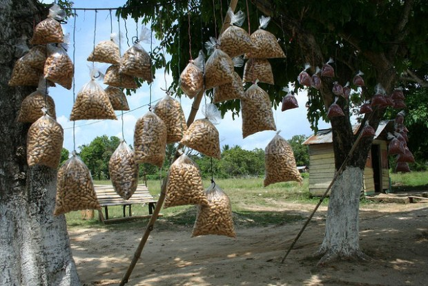 Peanuts hanging from a tree in Jamaica