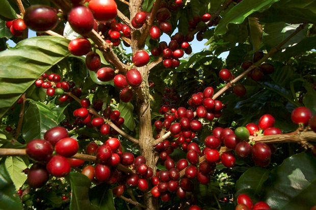 Coffee ready to be picked in Costa Rica