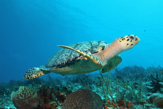 A sea turtle swims alongside the world's second largest barrier reef just off the coast of Cancun in the Mexican Caribbean