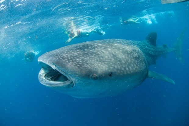 A whale shark feeds on plankton as swimmers amaze at the size of this ocean giant