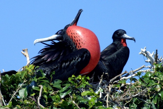 A male frigate bird showing off on Contoy Island
