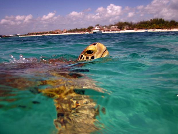 A sea turtle lifts its head out of the water off the coast of Isla Mujeres, Mexico