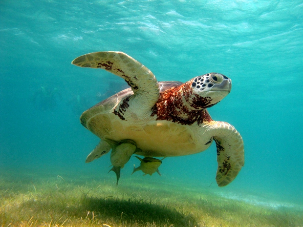 A sea turtle can be seen swimming in Akumal Bay, Mexico