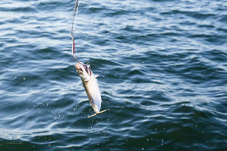 Cabo Fish Species Mackerel Catch