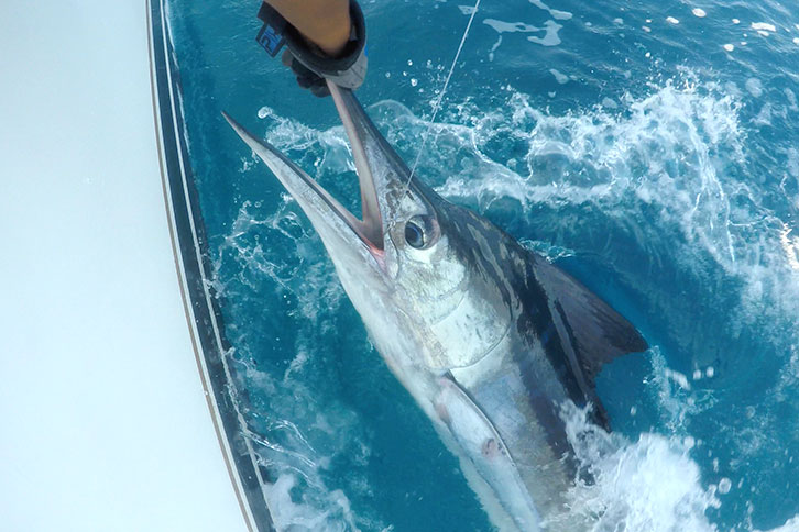 Cabo Fish Species to Catch Marlin