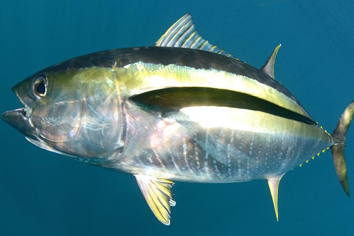 Cabo Fish Species Yellow Fin Tuna Pacific