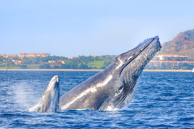 cabo-whale-watching-season-mom-calf